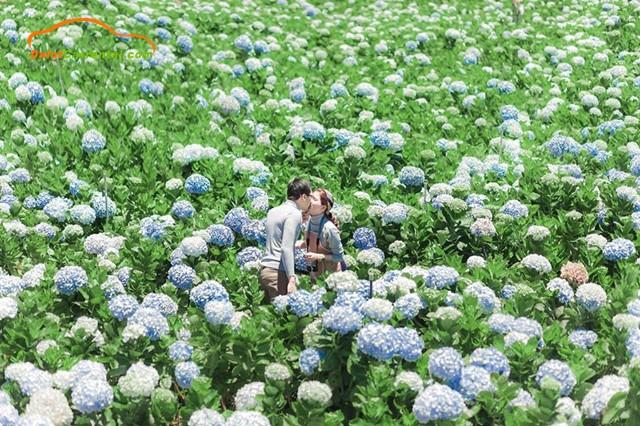 hydrangea garden dalat
